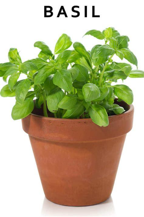 12 best herbs to grow indoors indoor herbs balcony 12 best medicinal herbs indoors how to grow