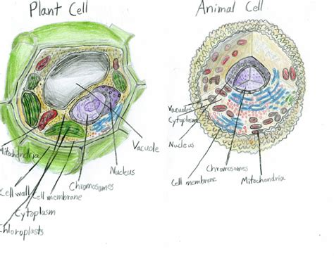 plant and animal cell diagram the world s catalog of ideas