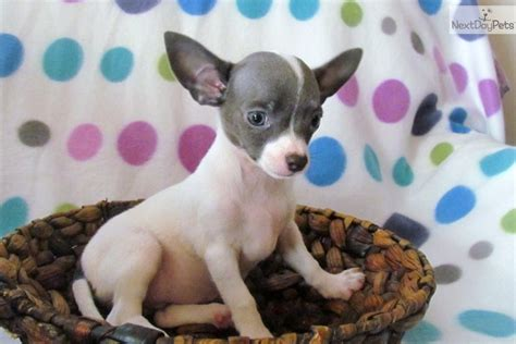 chihuahua puppies nc meet a chihuahua puppy for sale for 400 haired pups ready now