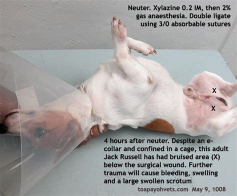 puppy neutering 031208asingapore toa payoh veterinary cat rabbits hamster veterinarian veterinary