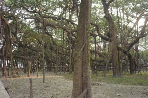 Botanical Garden Shibpur Great Banyan Tree Indian Botanic Garden Shibpur Howrah Picture Of Acharya Jagadish Chandra