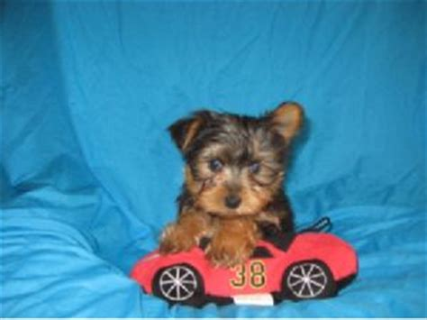 teacup yorkie in ohio terrier puppies in ohio