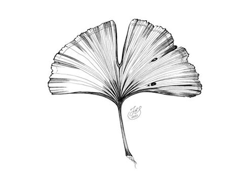 image result for ginkgo leaf illustrations design