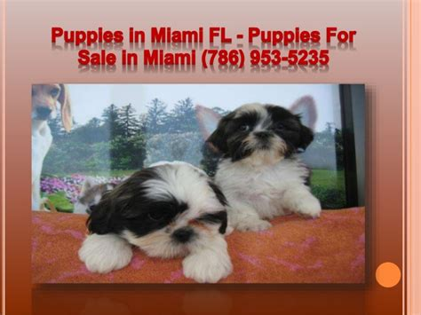 puppies for sale in miami fl puppies for sale in miami miami puppies breeds picture