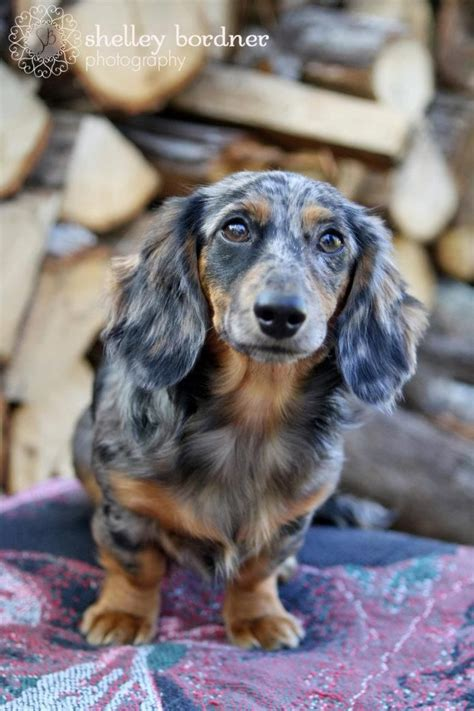 haired dapple dachshund puppies dapple miniature dachshund puppies for sale