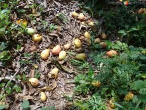 videos de escuintla chiapas mexico vegetacion mangos escuintla chiapas mx13207659769484