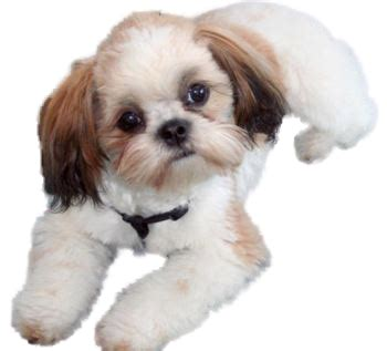 how to clip a shih tzu animated shih tzu clip picture breeds picture