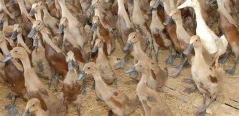 Bibit Bebek Sekarang cara ternak bebek yang baik dan benar