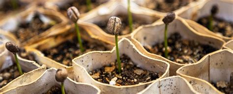 plant seeds use quot mini brains quot to decide when to sprout