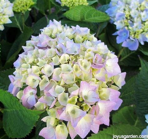 hydrangea change color changing the color of hydrangeas hometalk
