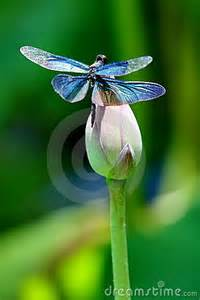 Lotus Flower And Dragonfly Colourful Dragonfly On A Lotus Flower Royalty Free Stock