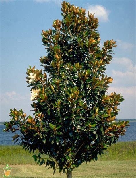 Magnolia Tree Shedding Leaves by May Reminders Problem Solved Pest