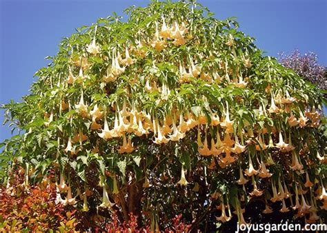 Height For Hanging Pictures by Brugmansia Care Tips