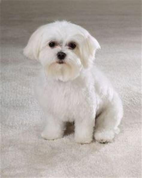 maltese puppy cut maltese on maltese puppies maltese and coton de tulear