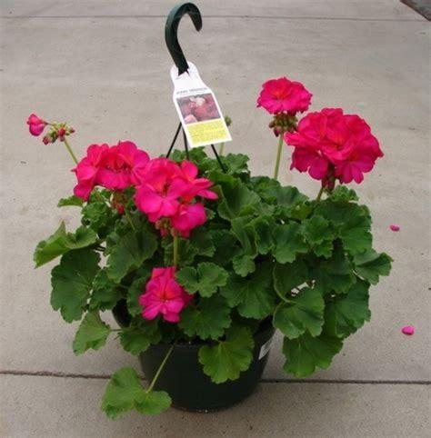 tanaman geranium fuchsia pink bibitbungacom