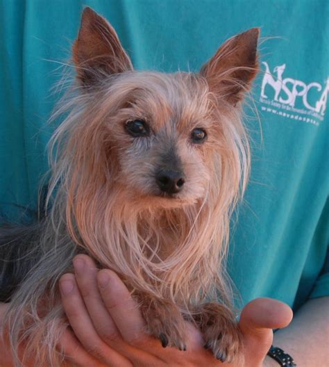 yorkie puppies in animal shelters 804 best images about terrier on puppys adoption and