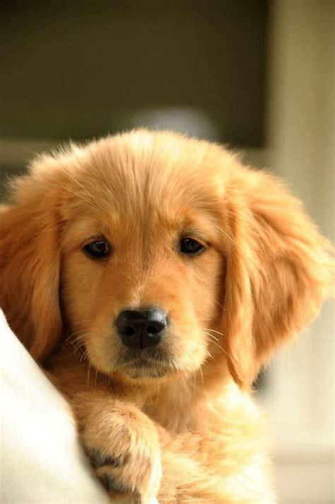 golden retriever drool golden retriever puppy i want one i m ganna name