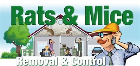 How To Stop Rats Coming Into Garden by Rats And Mice Stop Rat Entry Cleanup Damage