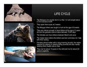 Jaguar Cycle Pictures M The Margay