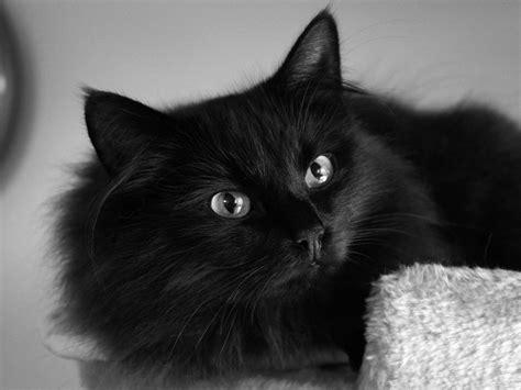 desktop wallpaper black cats black cat computer wallpaper photos 58764 1600x1200 px