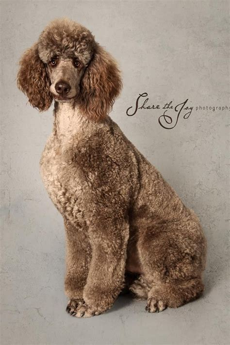 french poodle cuts 253 best images about poodles on pinterest