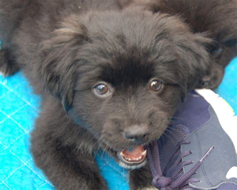 schipperke pomeranian mix puppies for sale available schipperkes breeds picture