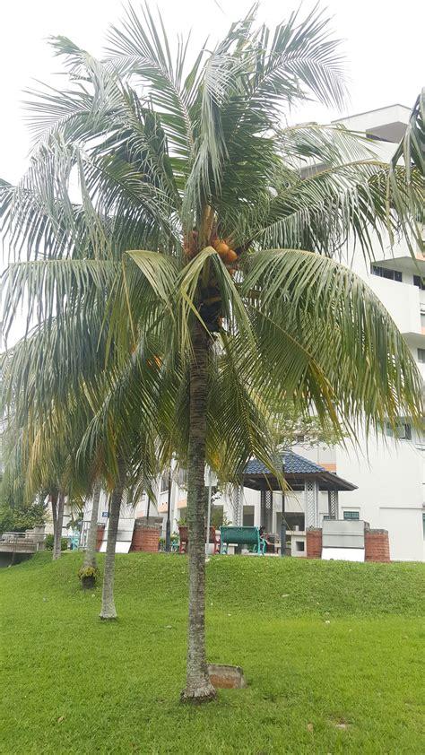 cocos nucifera coconut taxo wikinus