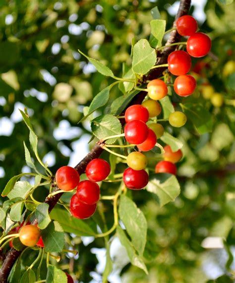 u of mn cherry trees minnesota cherry tree quot bali quot plants cherry tree plants and gardens