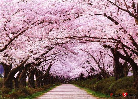 imagenes de sakura japon arboles sakura su significado taringa