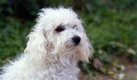lifespan of bichon poodle 38 best images about bolognese on