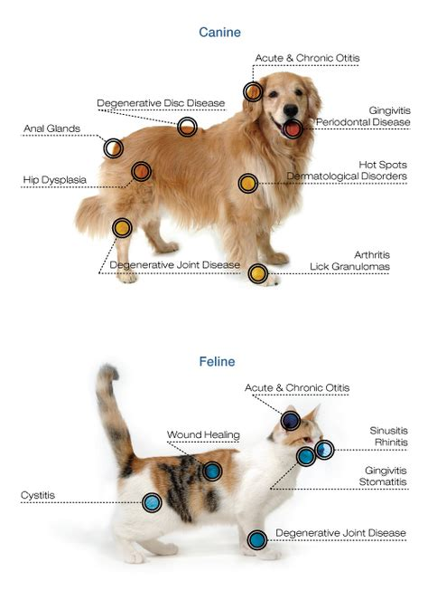 canine laser therapy for arthritis pet laser therapy weston florida salinas pet healing and