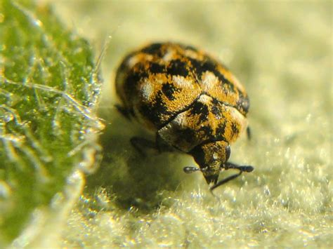 rug beetles carpet beetle treatment west midlands carpet beetle complete pest