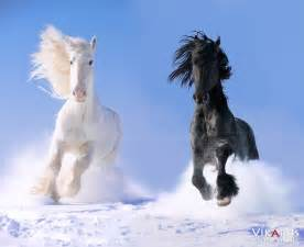 Black Mustang Horses For Sale Gallery For Gt Black And White Horses Together