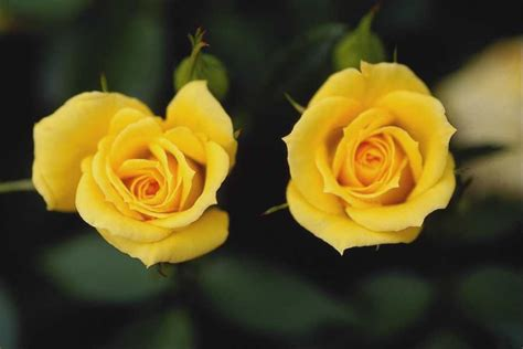 desktop wallpaper yellow roses yellow flowers wallpapers hd pictures one hd wallpaper