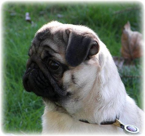 pug adoption vancouver ckc registered pug fawn 5 months for sale adoption from chilliwack