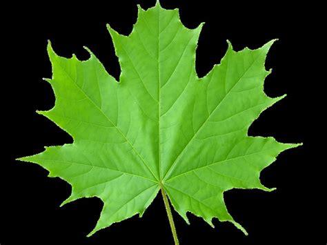 high resolution maple leaf deviantart maple leaf wallpaper related keywords suggestions