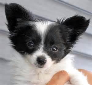 Artikel terkait papillon dog puppies