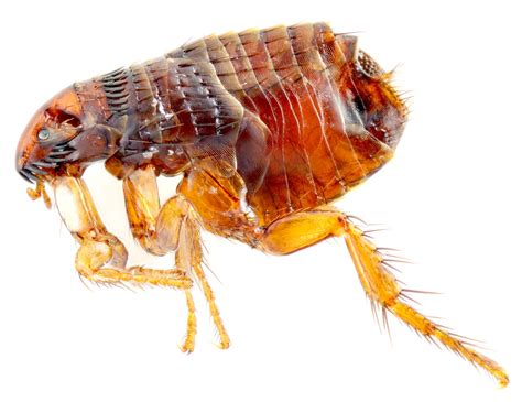 Fleas In by Flea Q A Frequently Asked Questions About Fleas