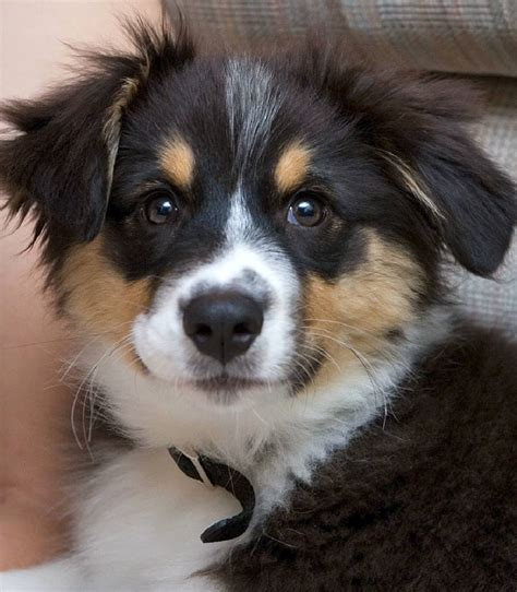 pictures of australian shepherd puppies the daily puppy photo
