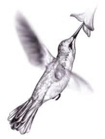 hummingbird drawing magellin hummingbird sketch