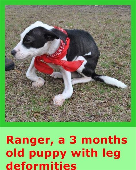rickets in dogs 1000 ideas about lab mixes on dogs for adoption puppies and beagles