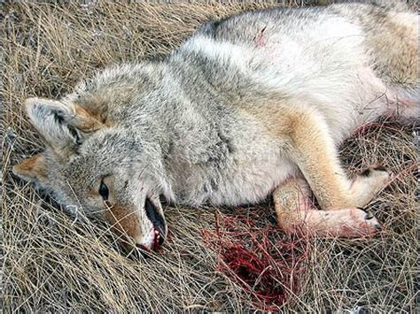 facts about coyotes for kids 10 facts you did not know about coyotes animals zone
