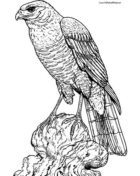 hawk coloring pages 1000 images about birds on coloring pages