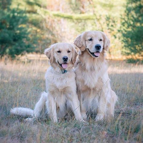 different shades of golden retrievers 1316 best fur faces images on animals golden retrievers and puppies