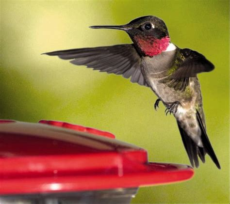 a ruby throated hummingbird is the smallest bird in the