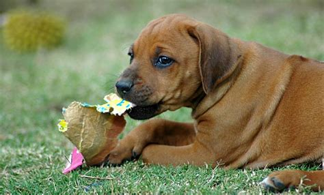 my puppy chews everything your how do i stop my puppy chewing everything puppy advice care and advice