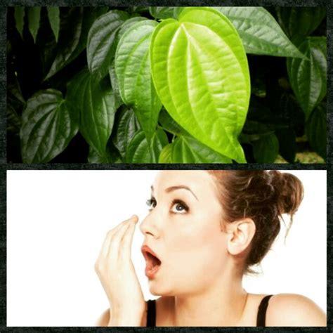 daun sirih ampuh mengatasi bau mulut  tips kesehatan