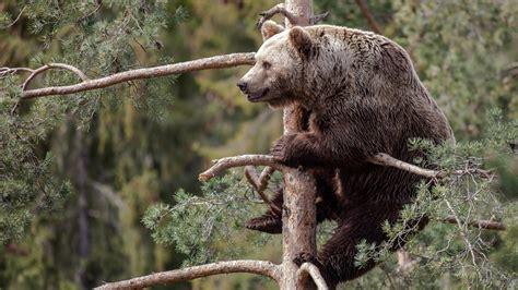 wallpaper brown bear bear cute animals tree animals