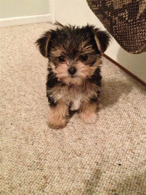 morkie puppies for adoption yorkie x maltese morkie animals small in size large in