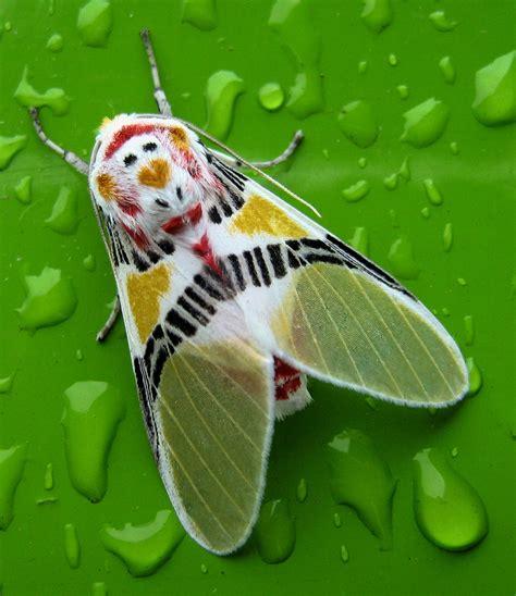 polilla coloreada colorful moth idalus herois